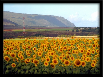 Field of Waialua Sunflowers
