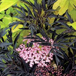 ... Black Lace, Sambucus Black Beauty, Elderberry Nova, Elderberry York
