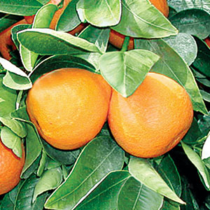 Gold Nugget Mandarin Tree 5 Gal