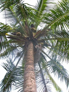 Coconut Palm -The perfect survival pack for the path of life-
