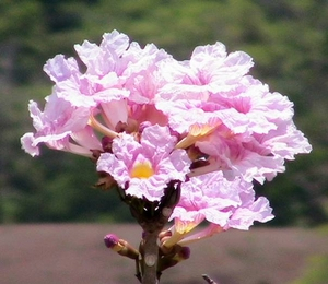 Rosy Trumpet Tree -A pink dream sending winged hearts with the wind-