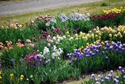 Mixed Bag Of 10 Irises - Plant with Fall Bulbs for Spring Flowers