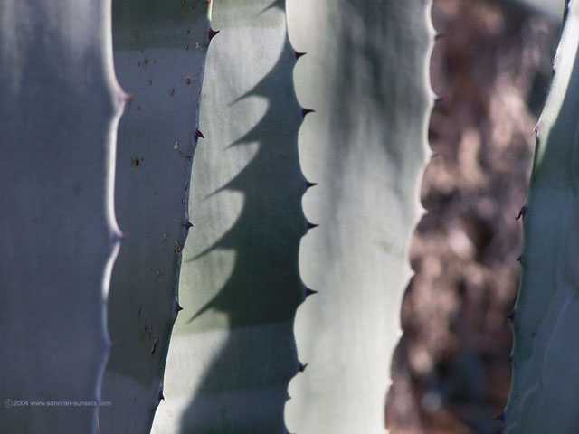 Agave Wallpaper 640 x 480