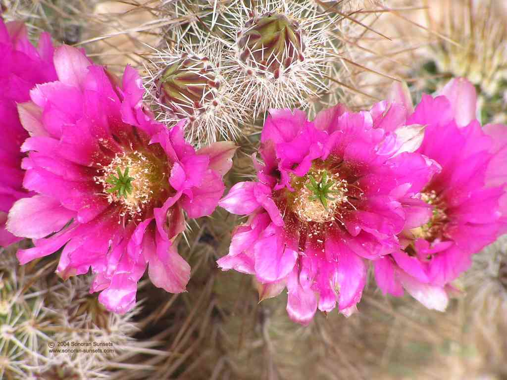 Strawberry Hedgehog Cactus Wallpaper Wallpaper 1024 x 768