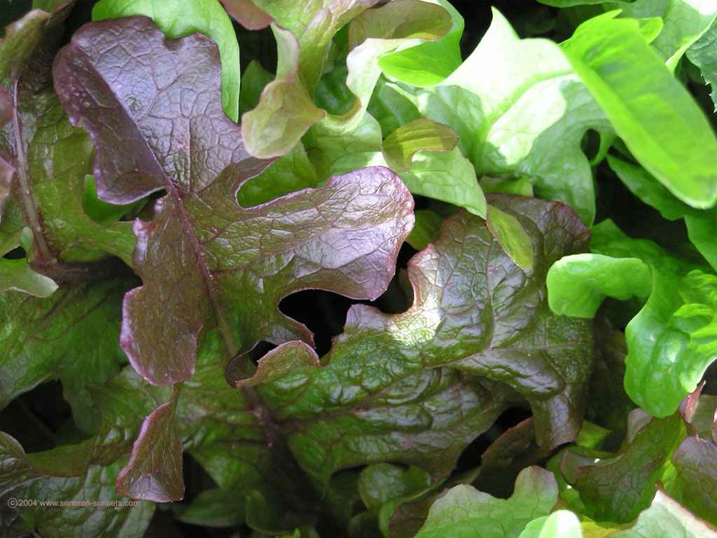 Our Organic Lettuce Wallpaper 1024 x 768