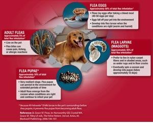 Dog flea life cycle
