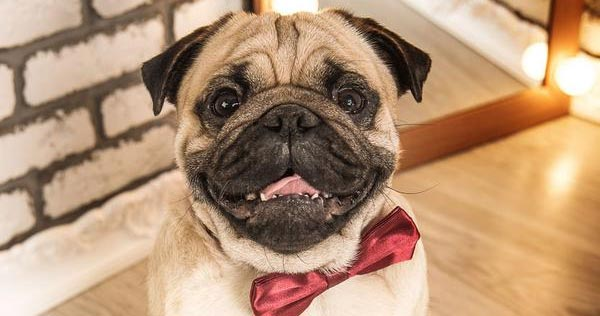 pug wears a red bow tie