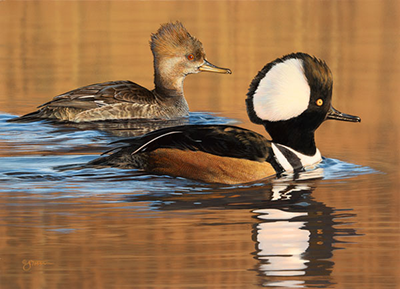 2014 N.C. Waterfowl Conservation Print and Stamp