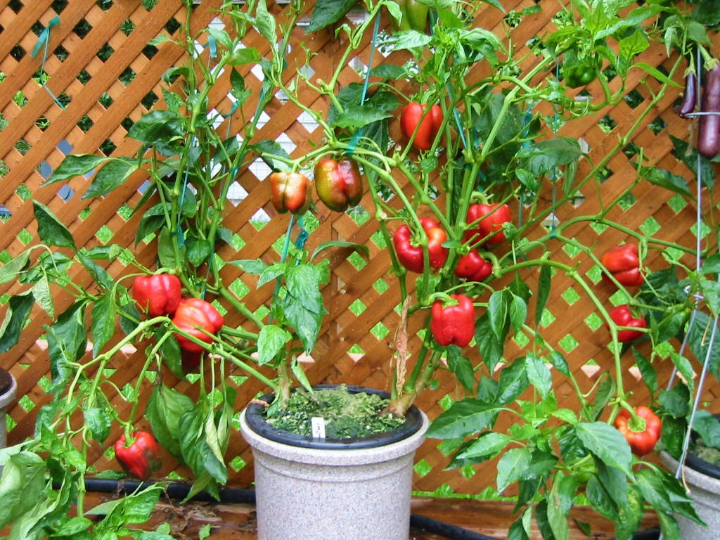 Container gardening heirloom tomatoes hydroponic vegetables