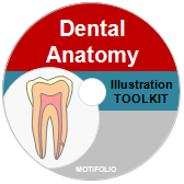 PowerPoint Drawing Toolkit Dental Anatomy