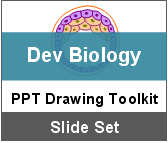 PowerPoint Drawing Toolkit Developmental Biology